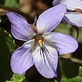 Viola vaginata (flower s4).jpg