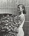 Vrouw met geoogste tabaksbladeren - Woman presenting tobacco leaves (6679510247).jpg
