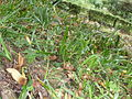 Wąż japoński.JPG