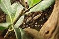 WLA hmns Indian Ornamental Tarantula.jpg