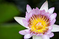 Water Lily (3949764363).jpg