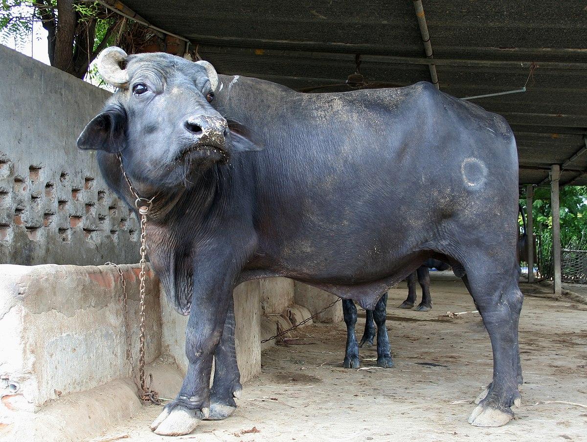 Water Tank Trailer >> water buffalo - Wiktionary