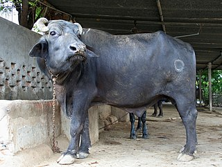 Water buffalo bull, near Mehsana, Gujarat, India, 4.jpg