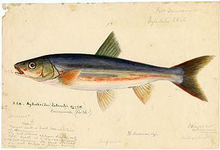 <i>Mylocheilus caurinus</i> Species of fish