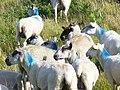 Welsh Lamb at Cwm Ivy - geograph.org.uk - 1418510.jpg