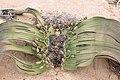 Welwitschia mirablis-1410 - Flickr - Ragnhild & Neil Crawford.jpg