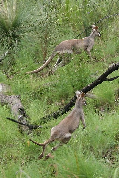 File:Whiptail Wallaby.jpg