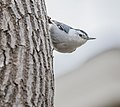White-breasted Nuthatch (2018).jpg