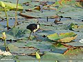 White-breasted Waterhen (Amaurornis phoenicurus) (39810438381).jpg
