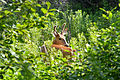 White-tailed Deer (Odocoileus virginianus), Male - London, Ontario 01.jpg