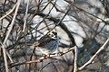 White-throated sparrow (2306803303).jpg