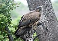 White Backed Vulture. (38130354272).jpg