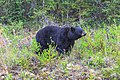 Whitehorse to Kitwanga via Stewart Cassiar hwy - a healthy young black bear (16014440089).jpg