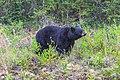 Whitehorse to Kitwanga via Stewart Cassiar hwy - a healthy young black bear (16014440089).jpg