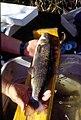 Wild trout project e walker river bridgeport0097 mountain whitefish (25670984484).jpg