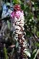 Wildflower Woodford Blue Mountains.jpg