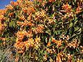 Winter flowers in Brisbane in July 01.JPG
