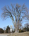 Wisconsins Tallest Tree Cottonwood Montello Wisconsin Populus deltoides.jpg