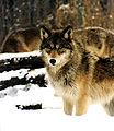 Wolf - Scott Flaherty.jpg