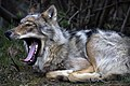 Wolf Yawns (5302403718).jpg