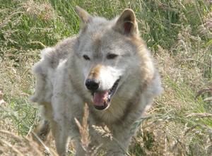 Kodiak, a 13-year-old captive North American w...