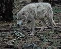 Wolves 4 (7177924182).jpg