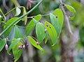 Wombat-berry flower bud east gippsland by Echidna Walkabout.jpg