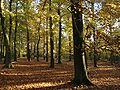 Woodland English Autumn Sunlit.JPG