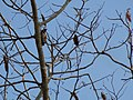 Woodpecker Mysore2.jpg
