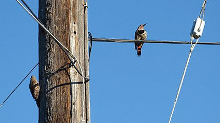 Woodpeckers-Telephone-Cable.jpg