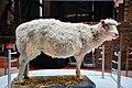 World-famous sheep (28147270737).jpg