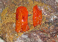 Wulfenite (Red Cloud Mine, La Paz County, Arizona, USA) 1 (17171197090).jpg