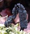 Xylaria polymorpha 120835454.jpg