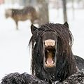 Yawning horse in Norway 2.jpg