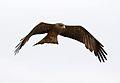 Yellow-billed kite, Milvus aegyptius, at Elephant Sands Lodge, Botswana (31438262883).jpg