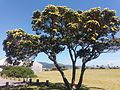 YellowFloweringPohutukawa.jpg