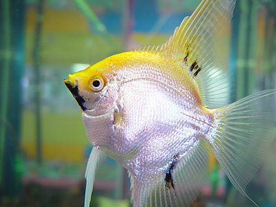 Yellow and silver fish.jpg
