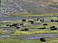 Yellowstone Bison 2011.JPG 02.jpg