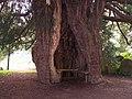 Yew Tree, St. Bartholomew's Church, Much Marcle - geograph.org.uk - 65730.jpg