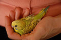 Young Budgie (Boo).jpg