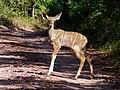 Young Kudu (Tragelaphus strepsiceros) (7032083979).jpg