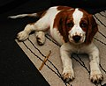 Young Welsh Springer Spaniel.jpg
