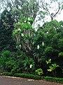 Yucca gloriosa (Ponta Delgada).jpg