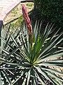 Yucca tr.jpg