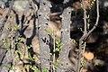 Zanthoxylum capense00.jpg