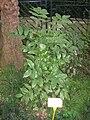 Zanthoxylum nitidum - Hong Kong Botanical Garden - IMG 9571.JPG
