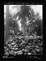 Zanzibar. Pile of cocoanuts (i.e., coconuts) in a grove LOC matpc.17664.jpg