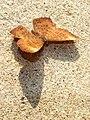 Zemeros flegyas - sun bathing.jpg