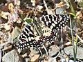 Zerynthia rumina (Papilionidae) (Spanish Festoon) - (imago), Málaga, Spain.jpg