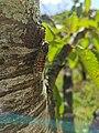 Zikade on tree.jpg